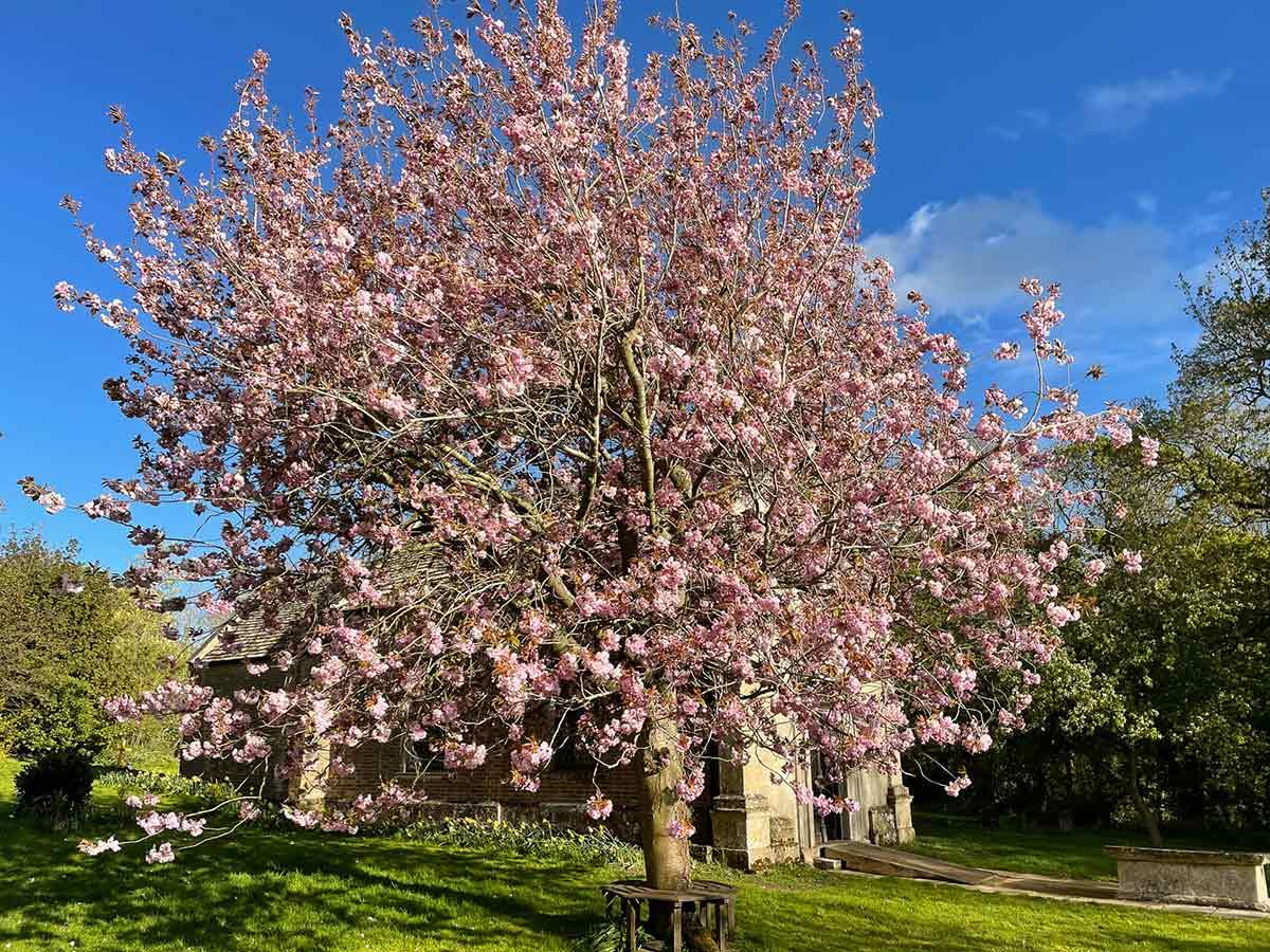 Cherry tree outside Little Gidding Church